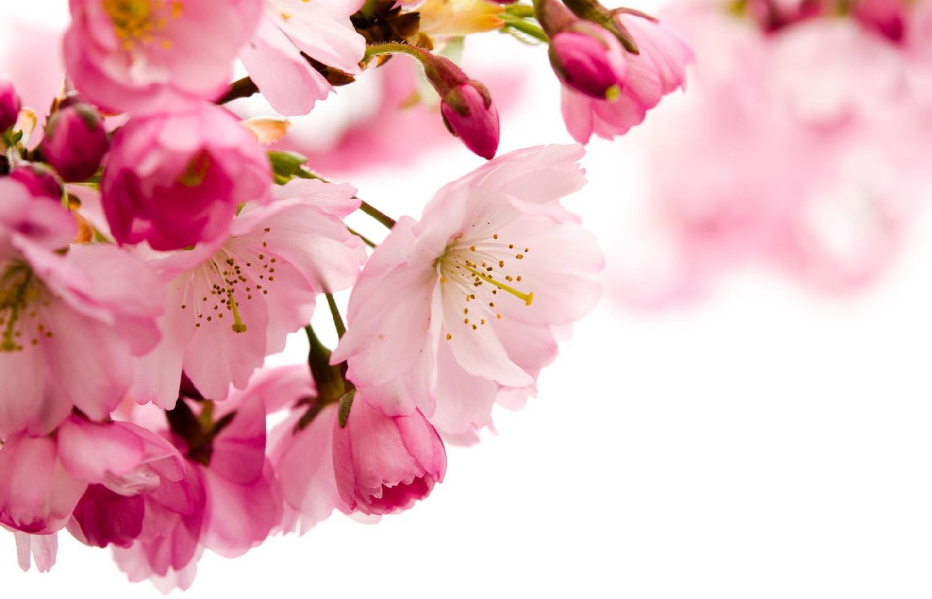 Phytofleur Japanese Cherry Pb Croda Personal Care
