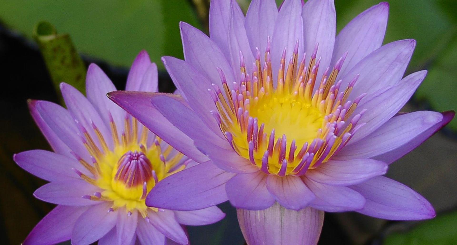 Crodarom Blue Lotus Gl Croda Personal Care